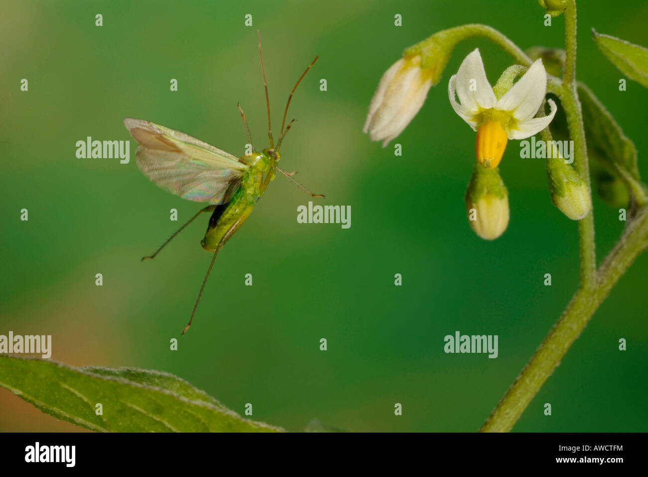 Common Green Capsid (Lygocoris pabulinus) - Stock Image