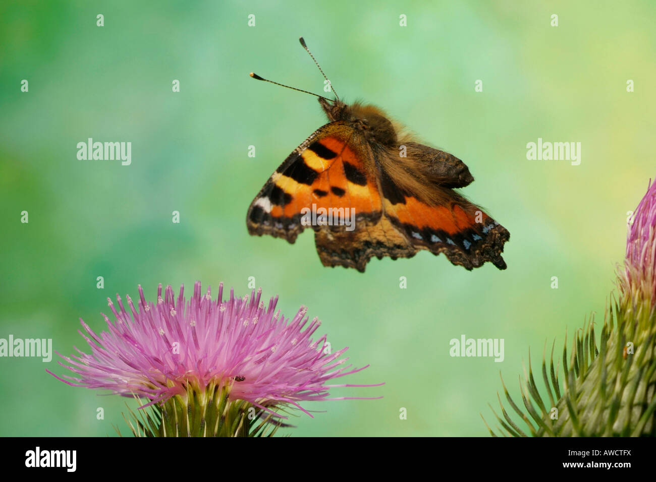 Small Tortoiseshell Butterfly (Aglais urticae) - Stock Image