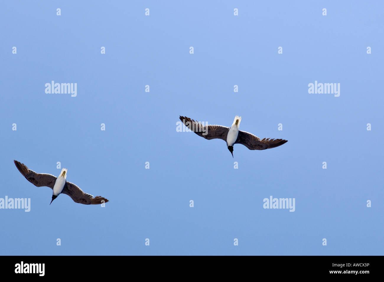 Black-headed gulls, Larus ridibundus - Stock Image