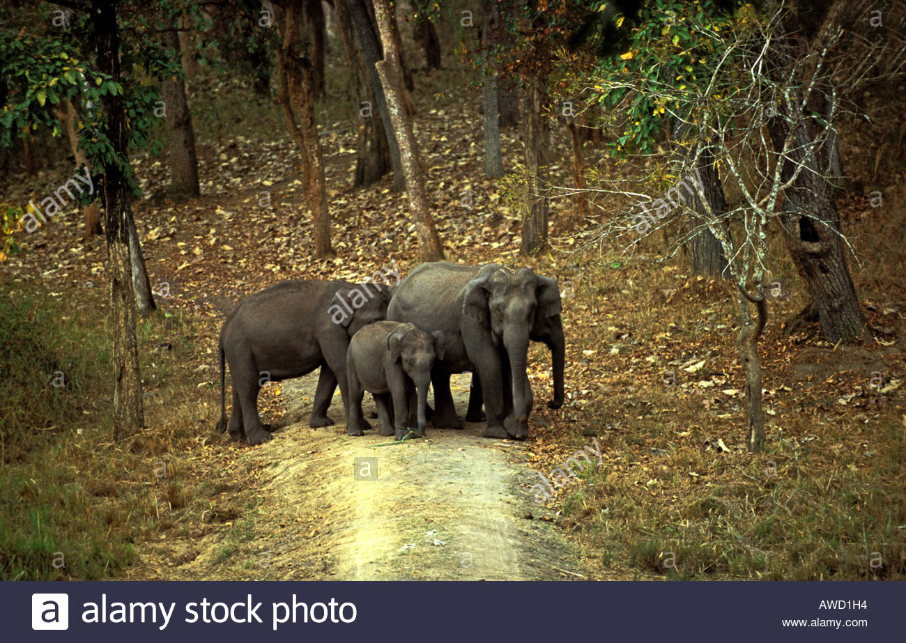 ELEPHANT WITH ITS CALF ON THE BANKS OF KABINI RIVER - Stock Image