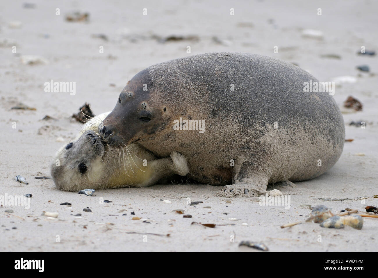 Grey Seal (Halichoerus grypus), female with young playing Stock Photo