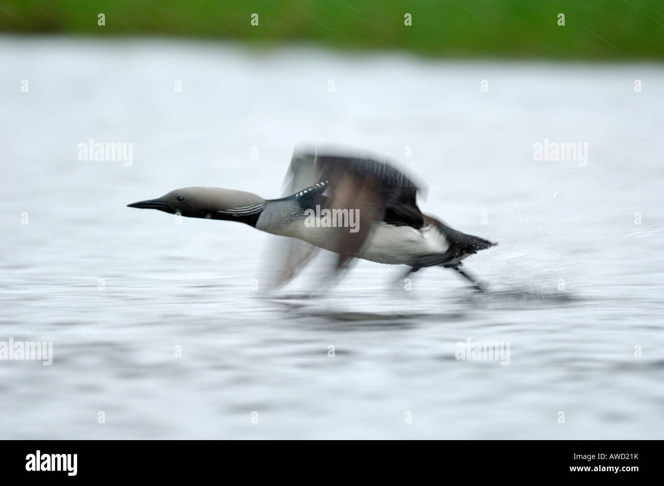 Arctic loon (Gavia arctica) taking off from the lake surface, Norway, Scandinavia, Europe Stock Photo