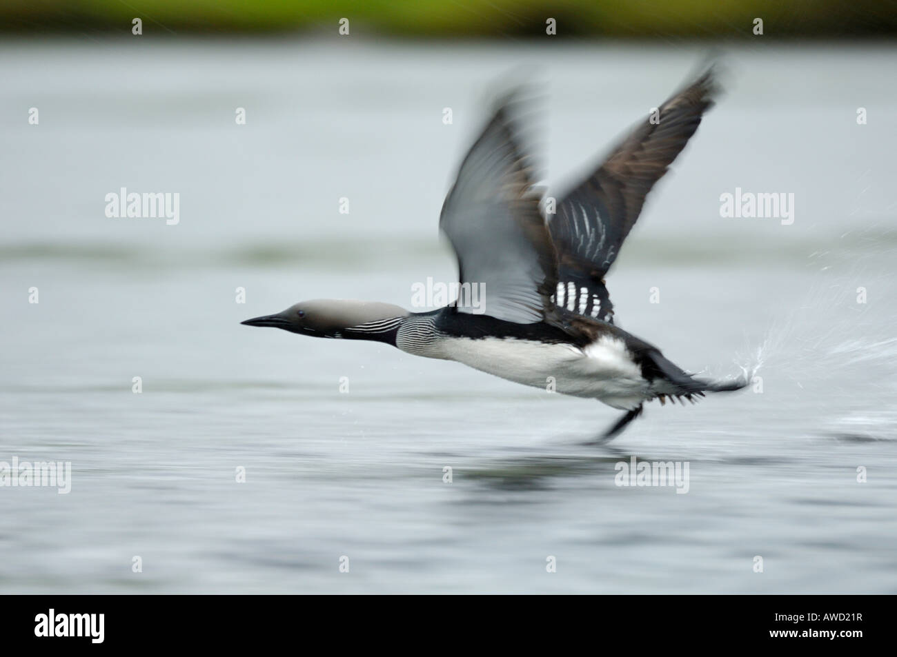 Arctic Loon (Gavia arctica) taking off from a lake surface, Norway, Scandinavia, Europe Stock Photo