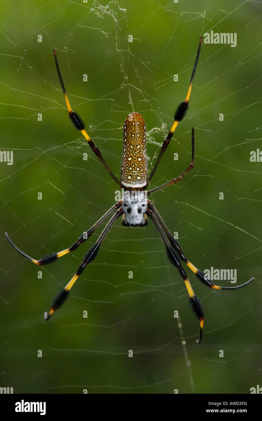 Spider, J.N. 'Ding' Darling National Wildlife Refuge, Everglades, Florida, USA, North America - Stock Image