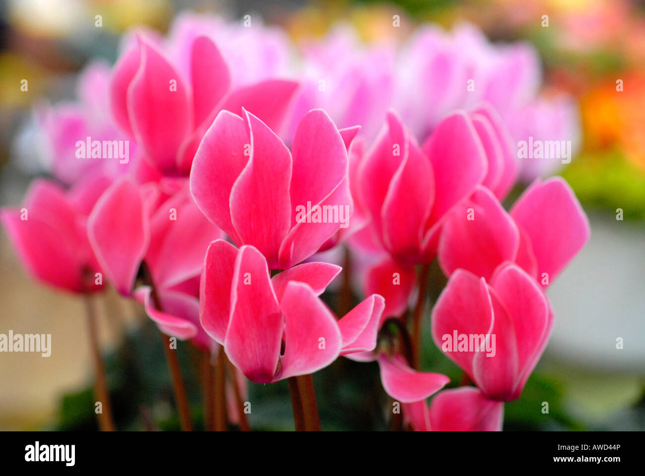 Sowbreads or Persian Violets (Cyclamen), market, Schwaebisch Gmuend, Baden-Wuerttemberg, Germany, Europe - Stock Image