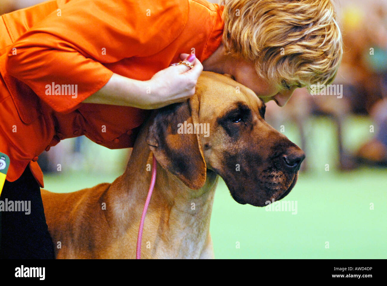A Great Dane with it s owner in the showring at Crufts 2008 Birmingham UK - Stock Image