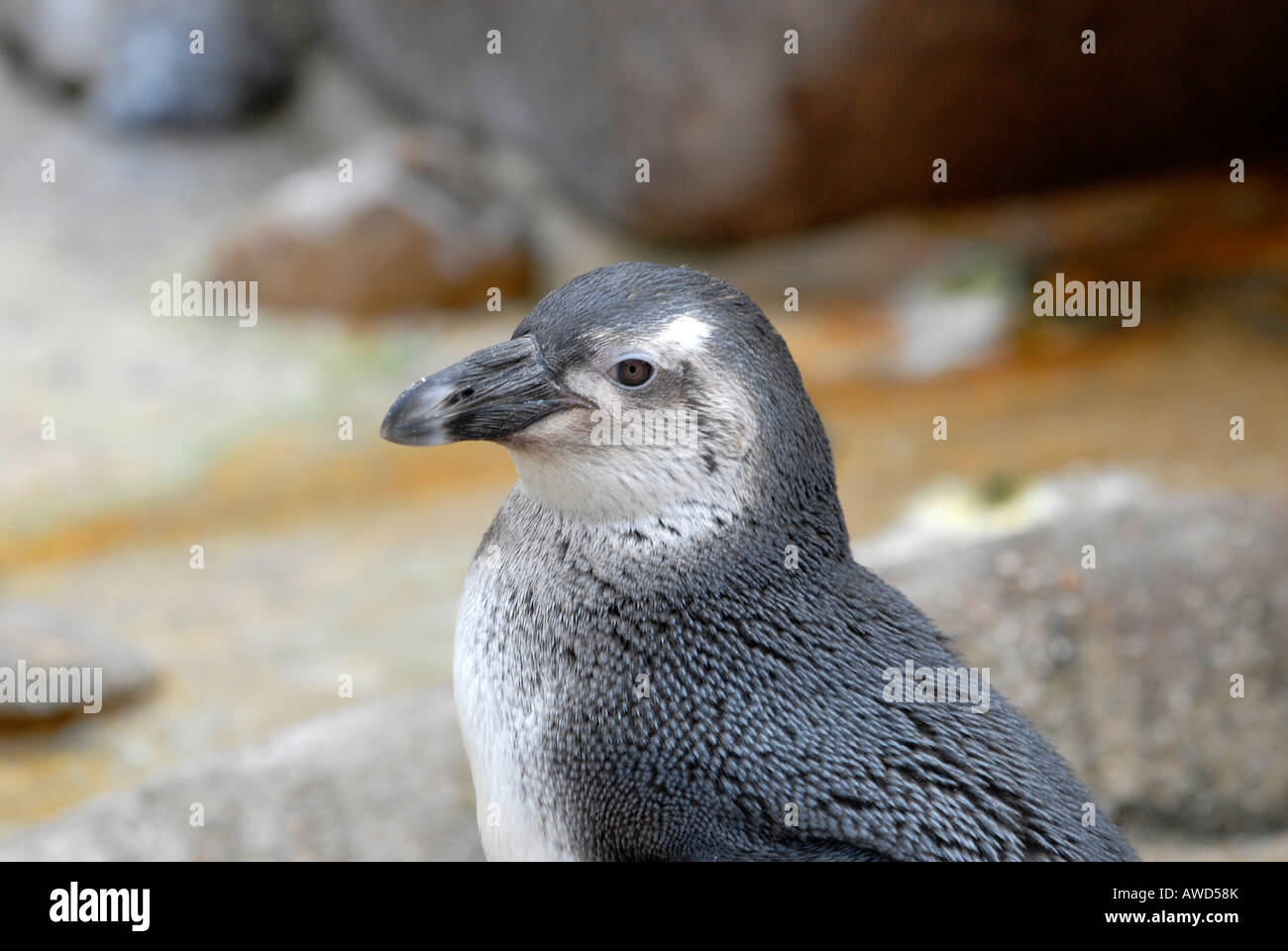 Magellanic Penguin (Spheniscus magellanicus) at a zoo in Germany, Europe Stock Photo