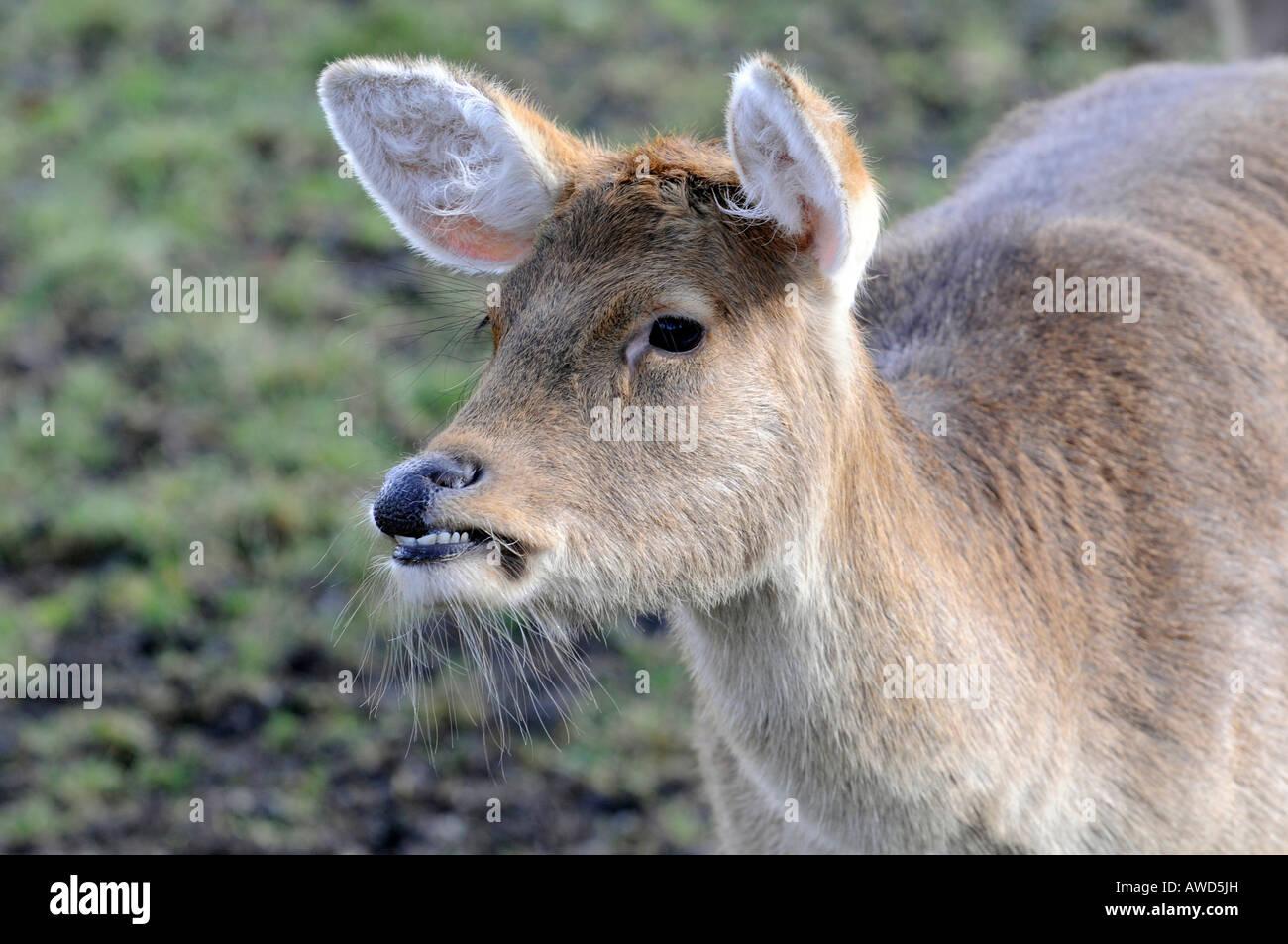 Barasingha Deer (Rucervus duvaucelii, Cervus duvaucelii) at a zoo in Bavaria, Germany, Europe Stock Photo