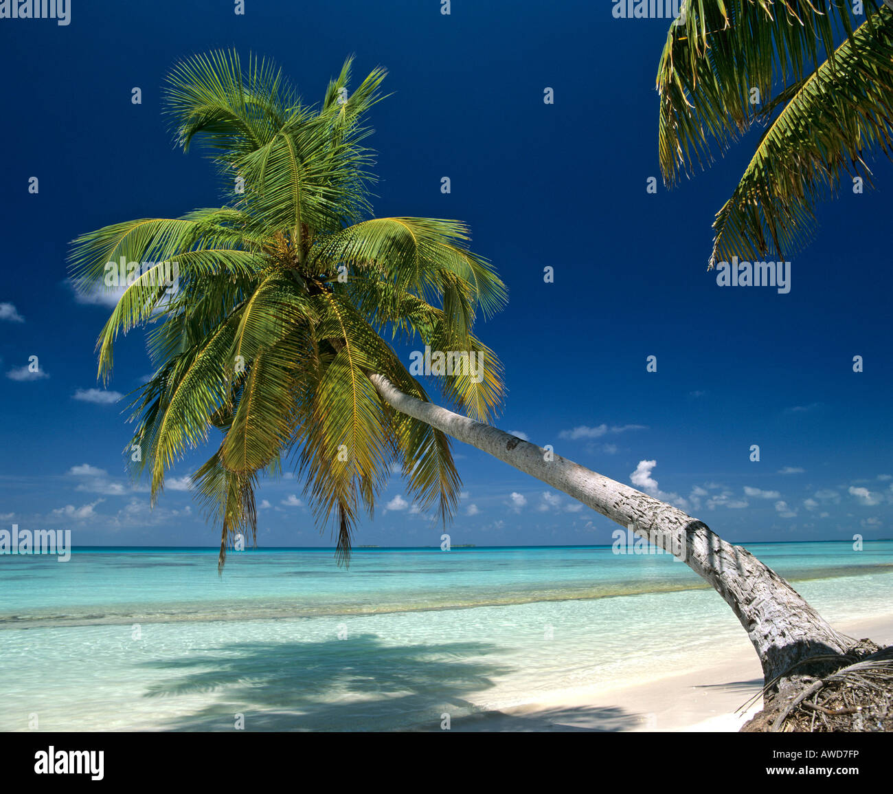 Palm tree on beach hanging over water, Maldives, Indian Ocean Stock Photo