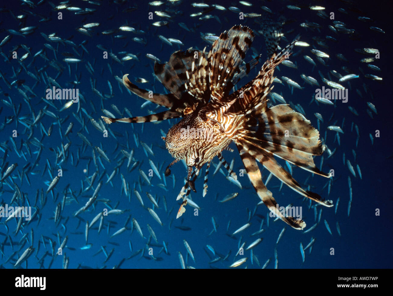 Common Lionfish or Devil Firefish (Pterois miles), underwater photograph, Indian Ocean - Stock Image