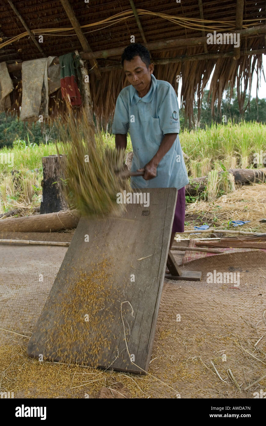 Farmer flailing rice ears, Koh Kong Province, Cambodia - Stock Image