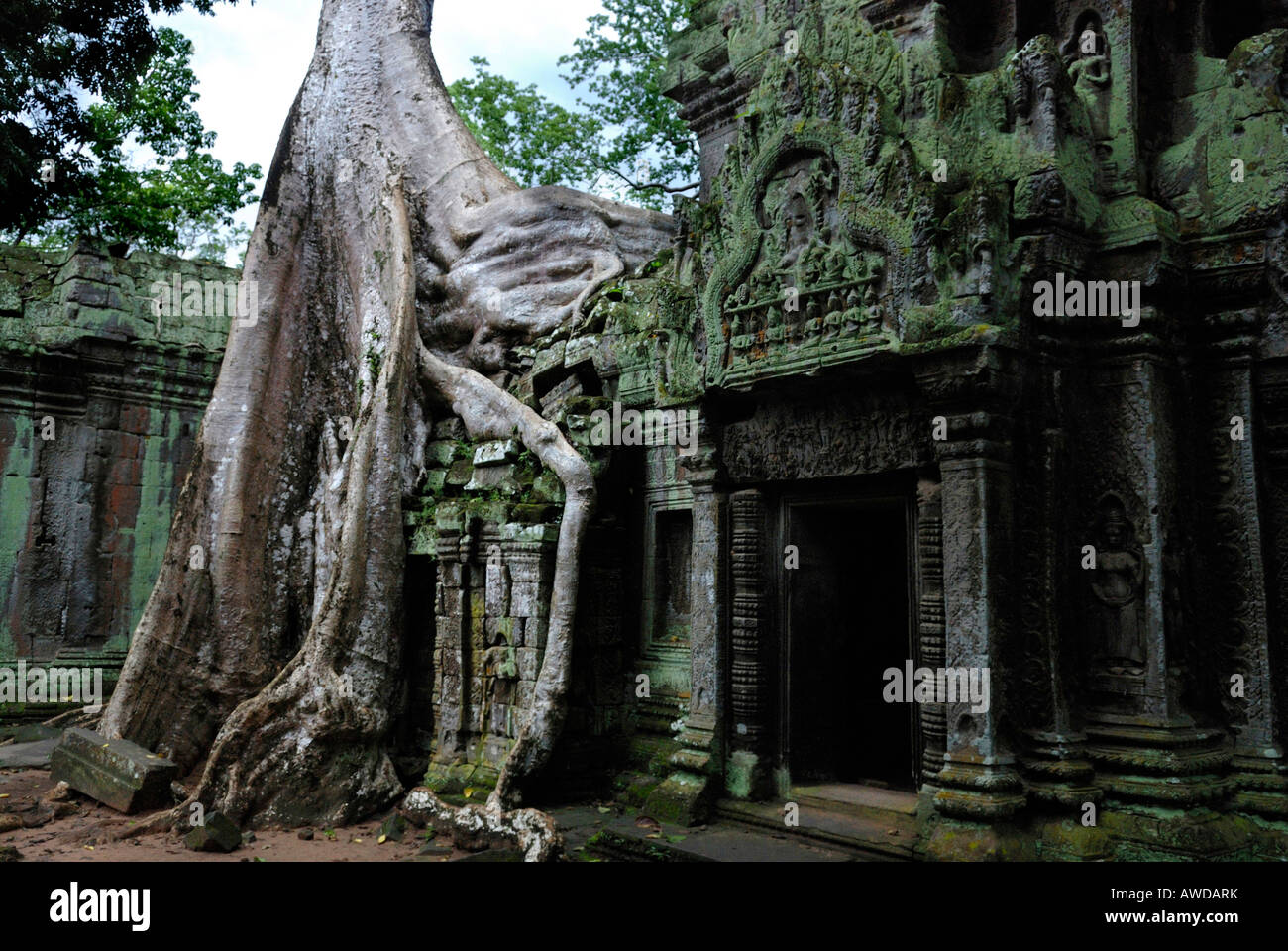 Giant roots of a tropical tree growing over the runins of Ta Prohm tempel, Angkor, Cambodia - Stock Image