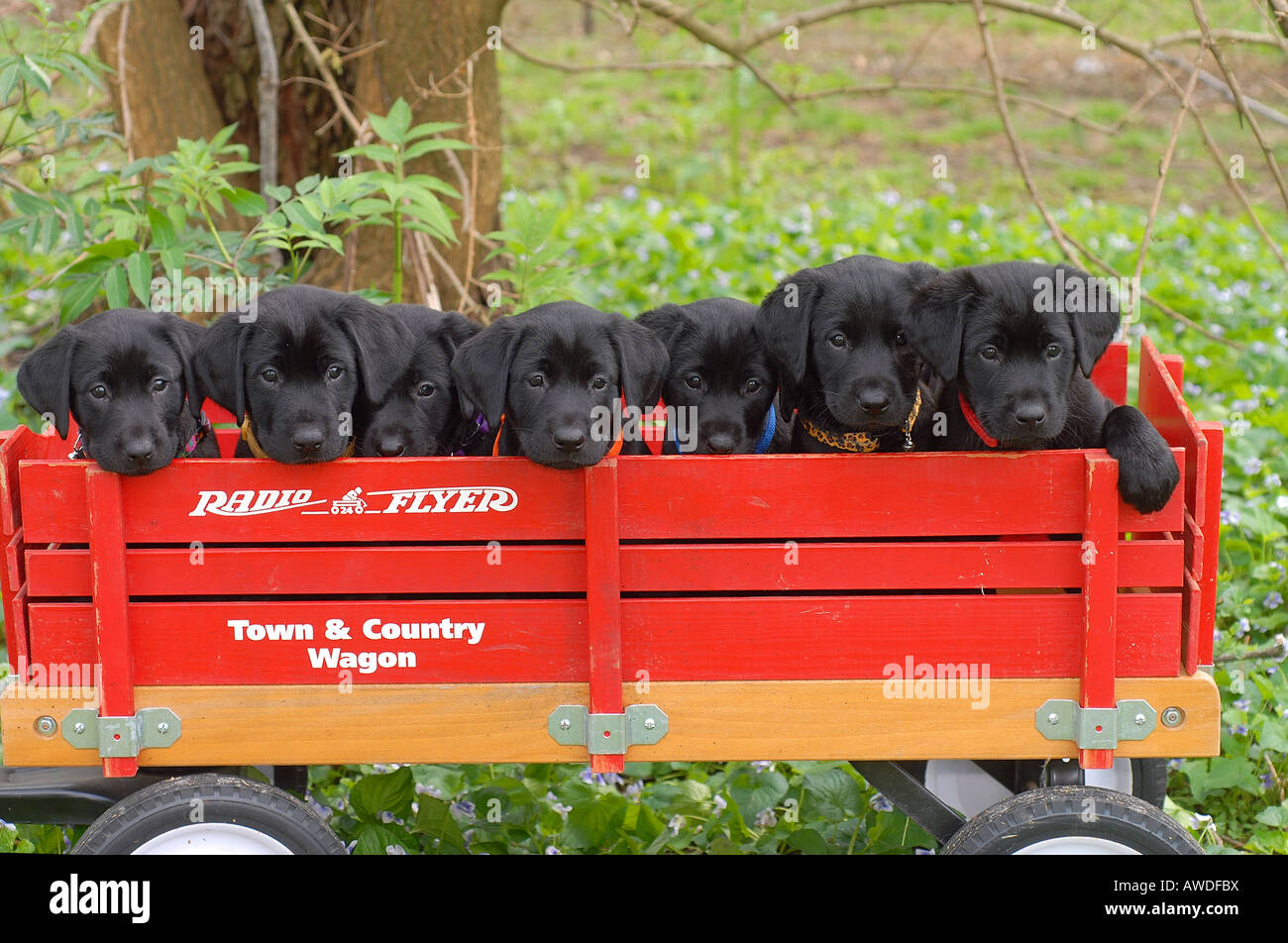 Black Labrador Puppies In Red Wagon Stock Photo Alamy