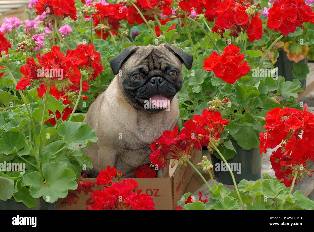 Pug dog in garden - Stock Image