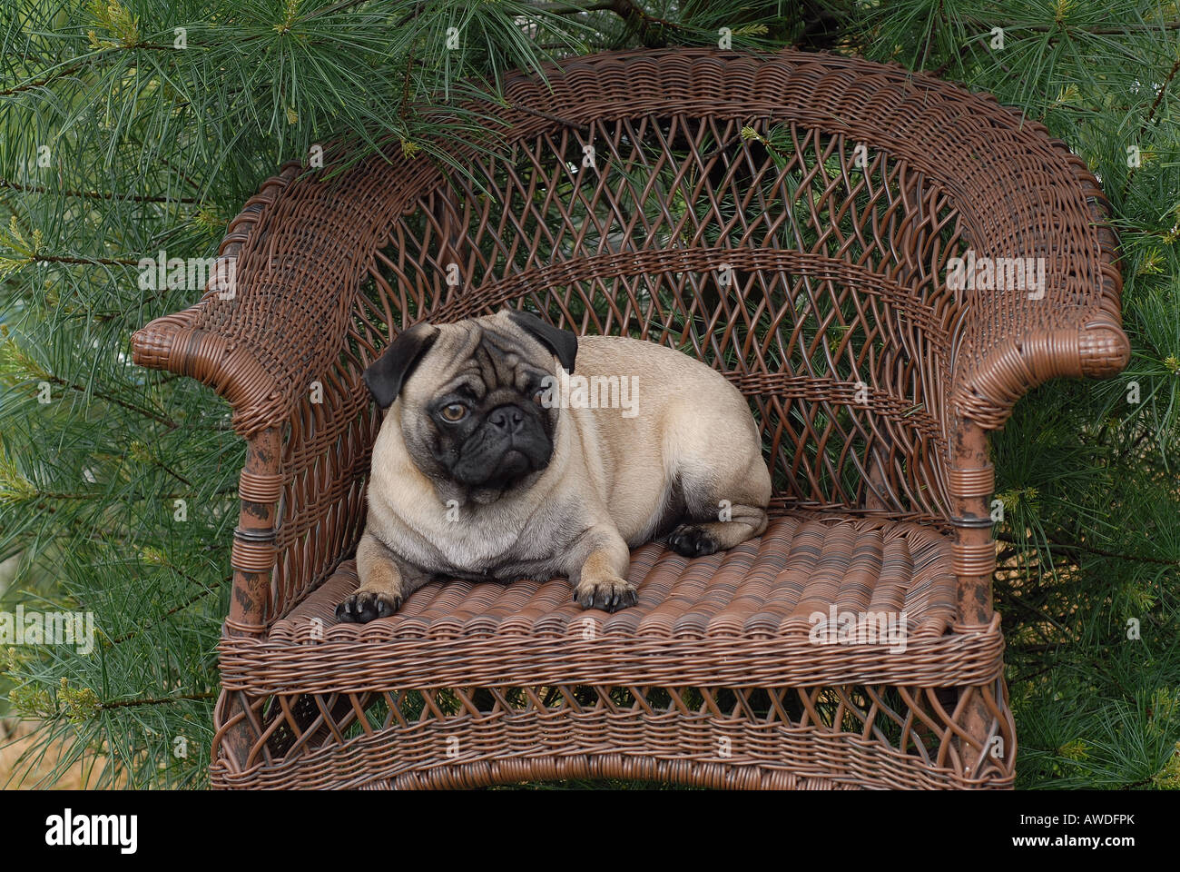 Pug dog on Wicker chair in garden - Stock Image