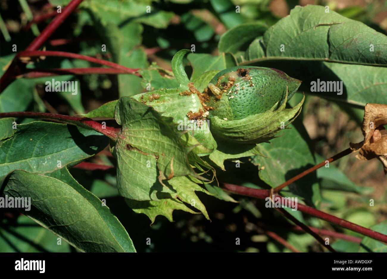 Spiny bollworm Earias insulana caterpillar and damage to cotton boll Morocco - Stock Image