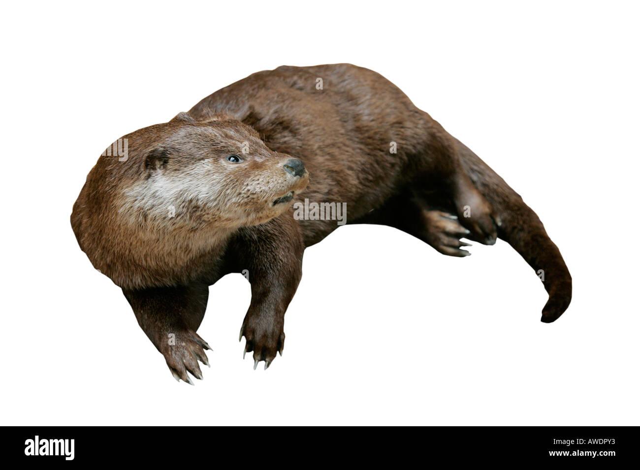 Otter Reconstruction Extinct Predator Ancient Model Exhibit Cut Out