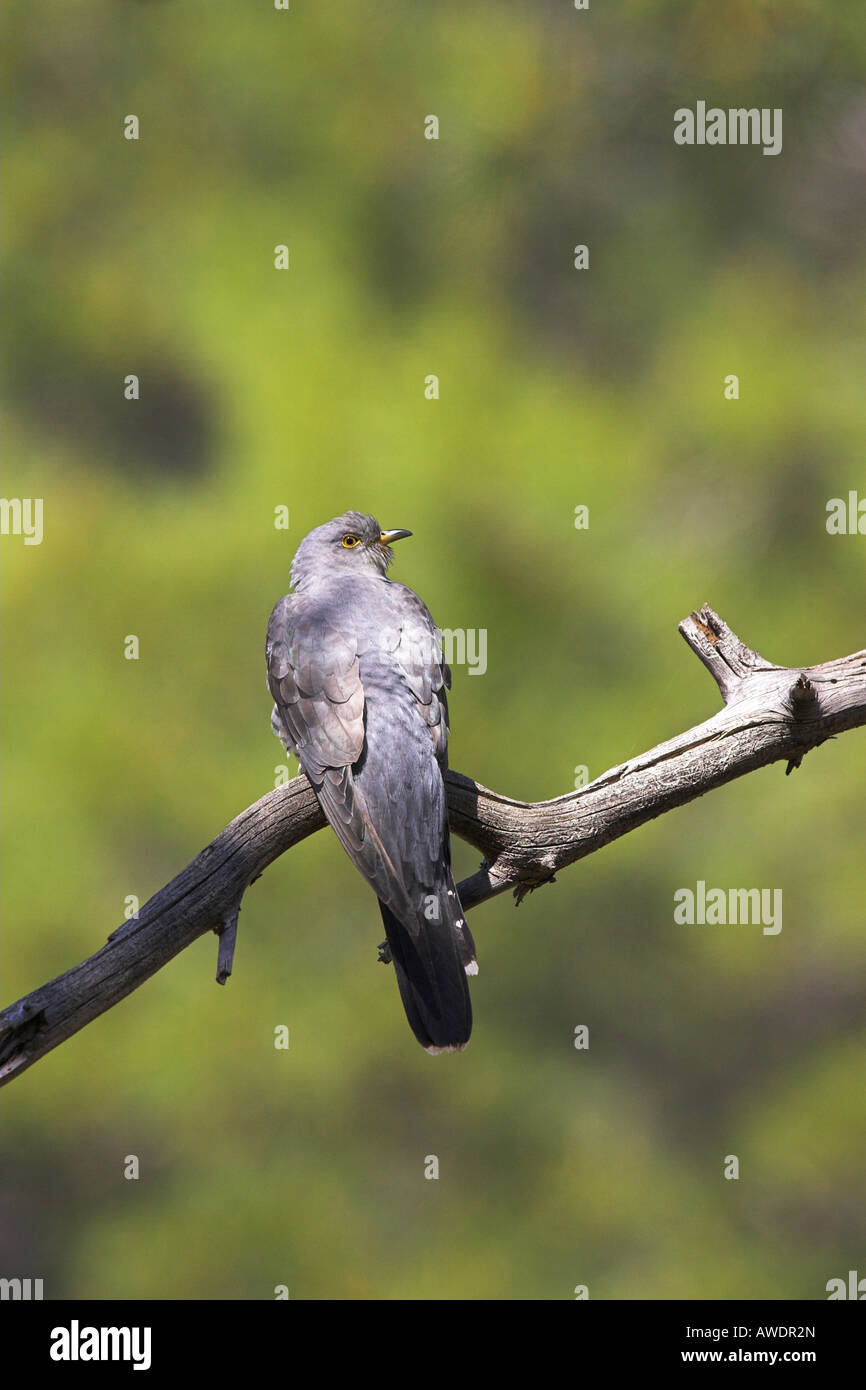 Common Cuckoo Cuculus canorus perched in pine tree within forest in Lesvos, Greece in April. - Stock Image