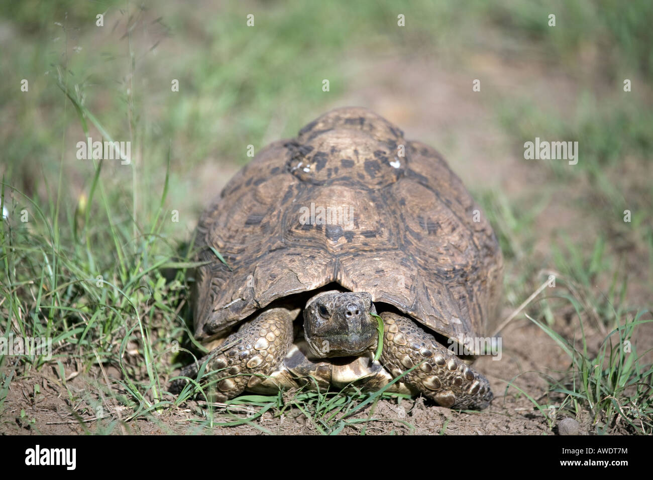 Leopard Tortoise (Stigmochelys pardalis) formerly classed as (geochelone pardalis) - Stock Image