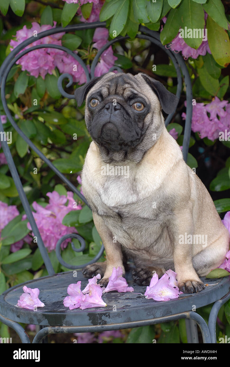 Pug Dog on chair in garden - Stock Image