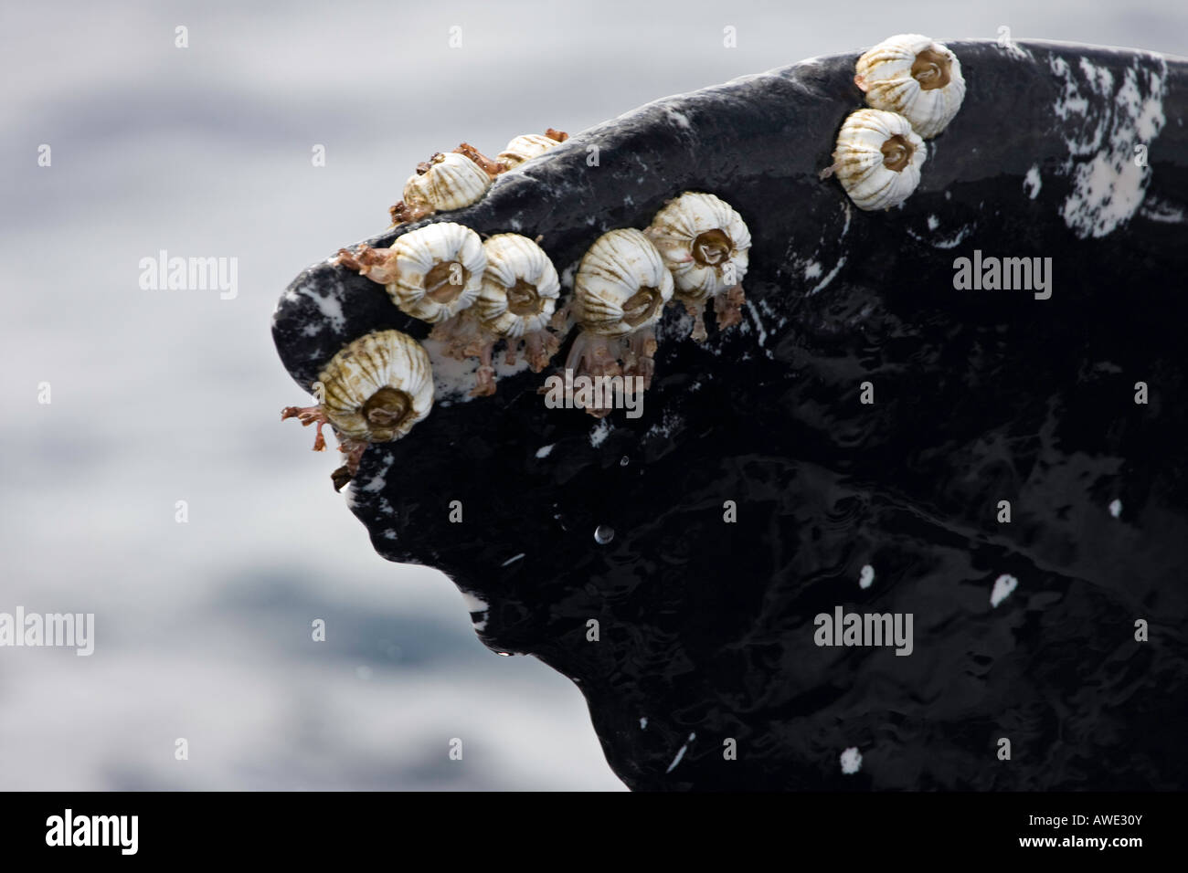 Acorn barnacles and goose neck barnacles attached to a humpback whale tail, Megaptera novaeangliae, Hawaii. Stock Photo