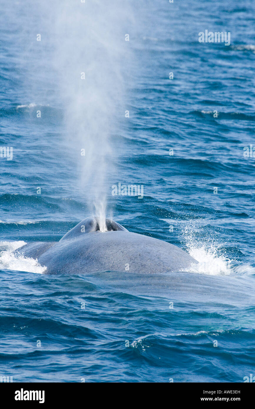 A blue whale, Balaenoptera musculus, surfaces and exhales off the coast of California, USA. - Stock Image