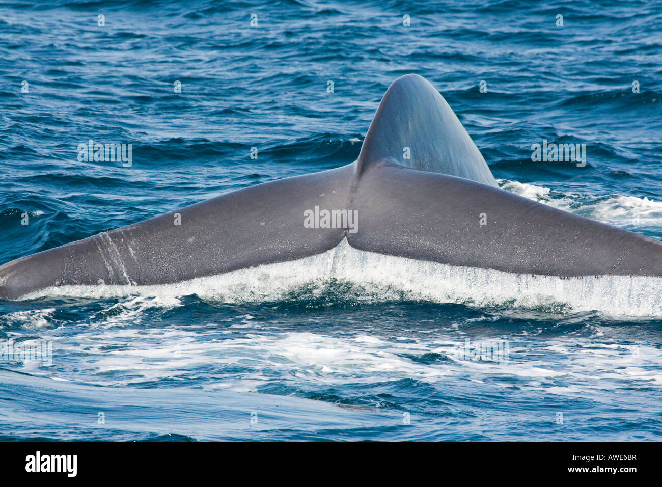 The tail of a blue whale, Balaenoptera musculus, off the coast of California, USA. - Stock Image