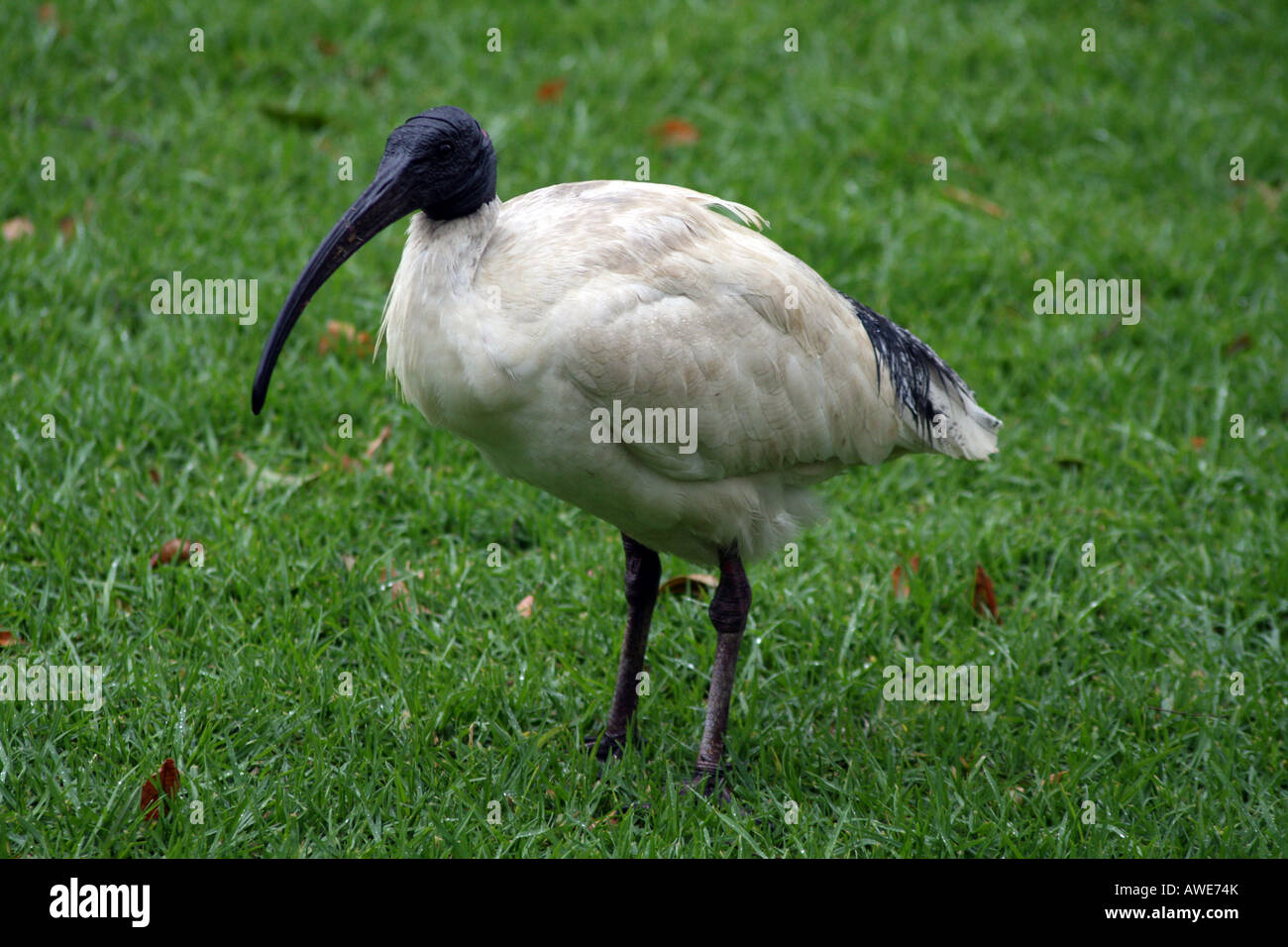 Australian White Ibis  [Royal Botanic Gardens, Farm Cove, Circular Quay, Sydney Harbour, Sydney, NSW, Australia] Stock Photo