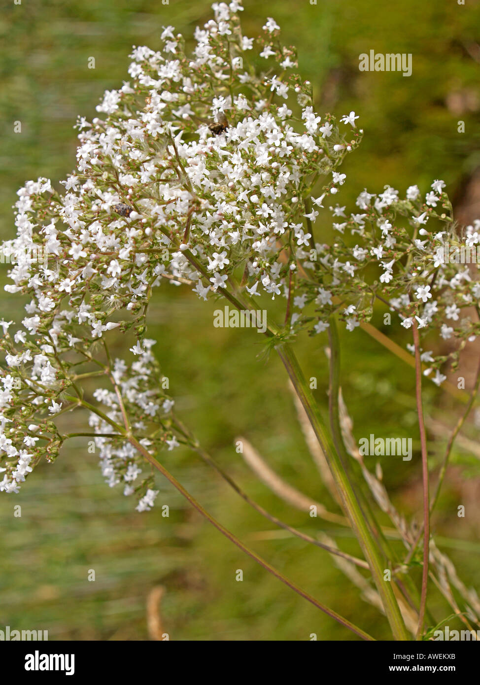 bloomer blooming valerian Valeriana officinalis - Stock Image