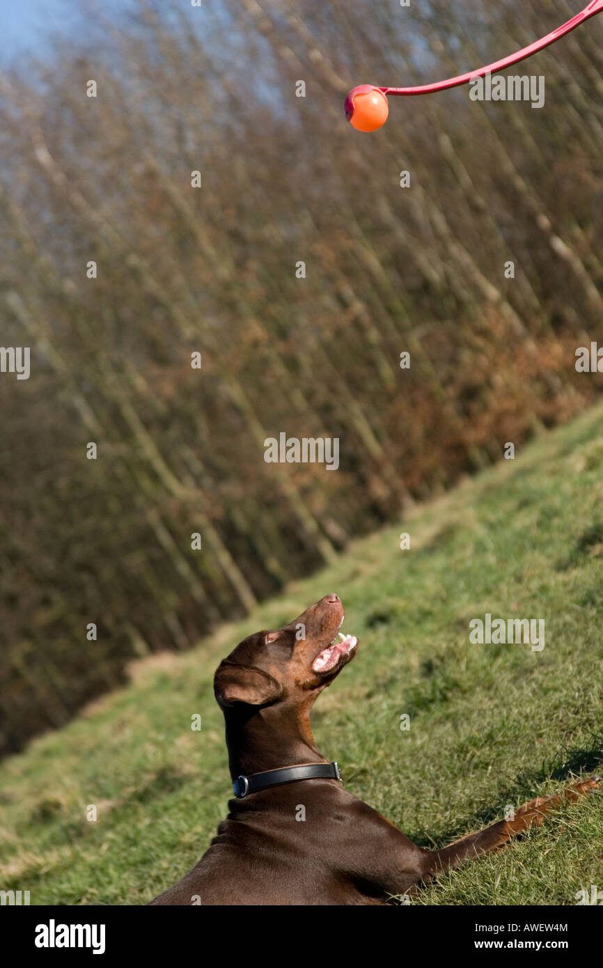 dobermann playing with ball - Stock Image
