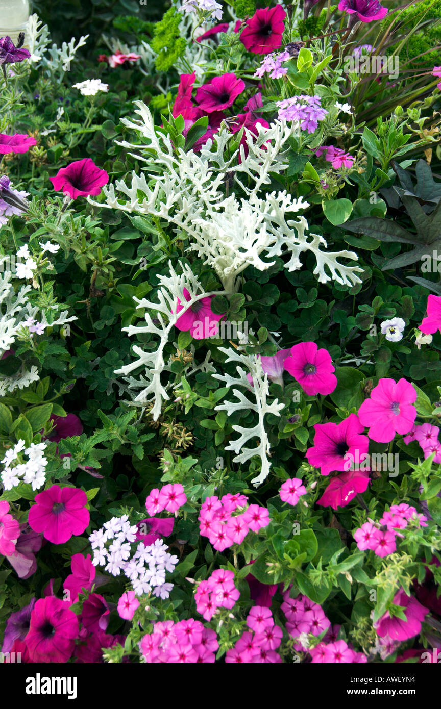 A closeup of an arrangement of summer annual flowers at the english a closeup of an arrangement of summer annual flowers at the english gardens in assiniboine park winnipeg manitoba canada izmirmasajfo