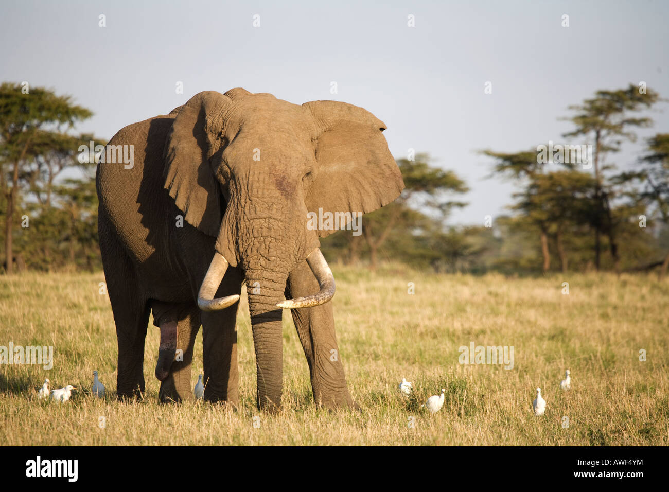 African Elephant (loxodonta africana) surrounded by White Egrets (egretta garzetta) Stock Photo