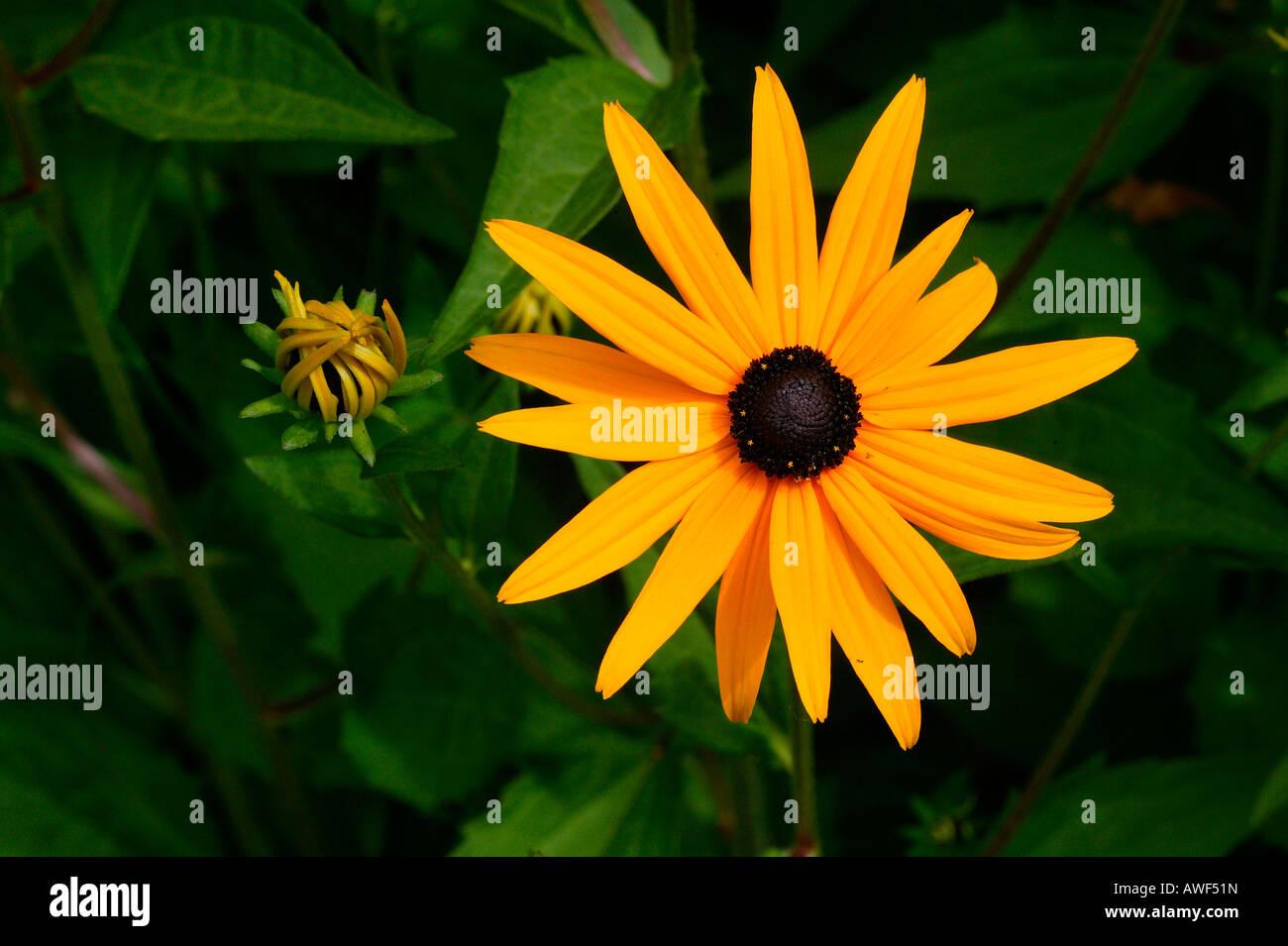 Black-Eyed Susan (Rudbeckia fulgida var. sullivantii) - Stock Image
