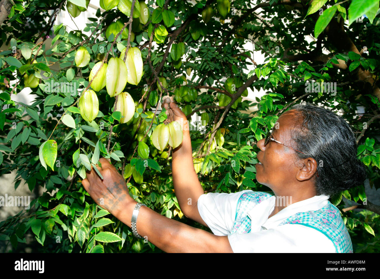 Woman harvesting starfruit (Averrhoa carambola) at an Ursuline convent and orphanage in Georgetown, Guyana, South Stock Photo