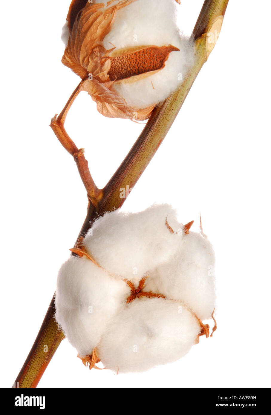Cotton - Stock Image