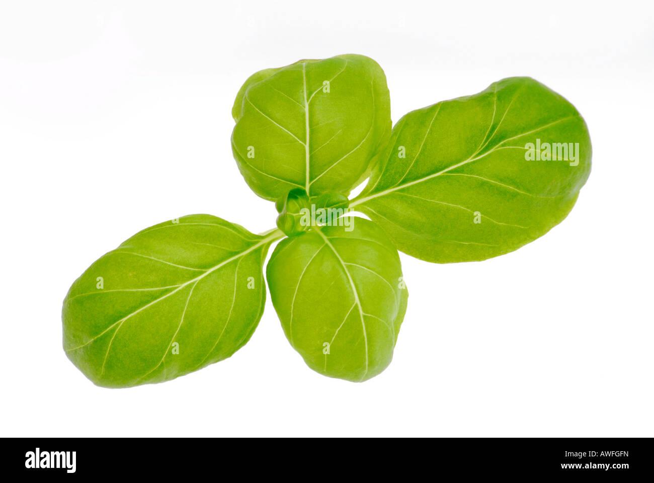 Basil (Ocimum basilicum) - Stock Image