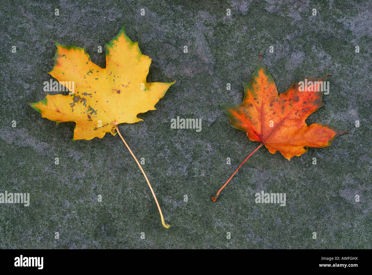 Autumn leaves, two colourful maple leaves laying on slate - Stock Image