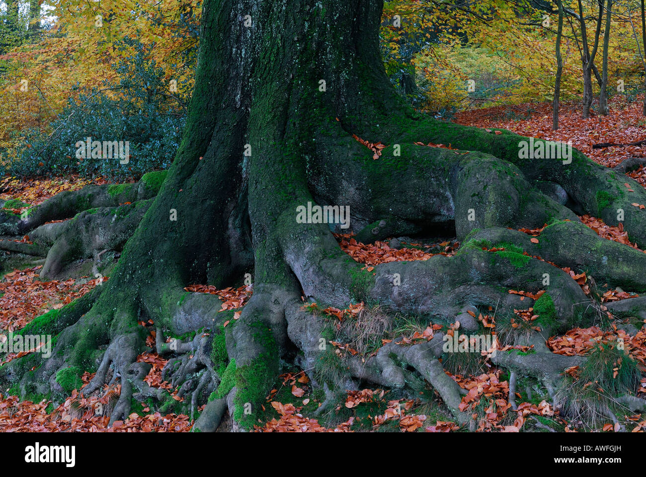 Sprawling tree roots, European Beech (Fagus sylvatica) tree - Stock Image