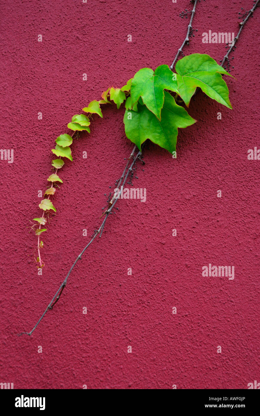 Boston - or Japanese Ivy (Parthenocissus tricuspidata) tendril growing on a house wall Stock Photo