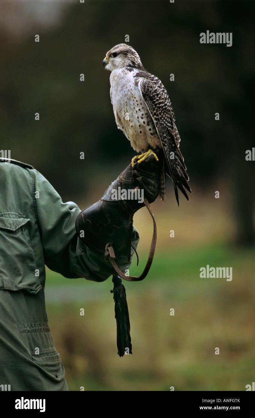 Gyrfalcon or Gyr Falcon (Falco rusticolus) perched on a falconer's hand, North Rhine-Westphalia, Germany, Europe - Stock Image
