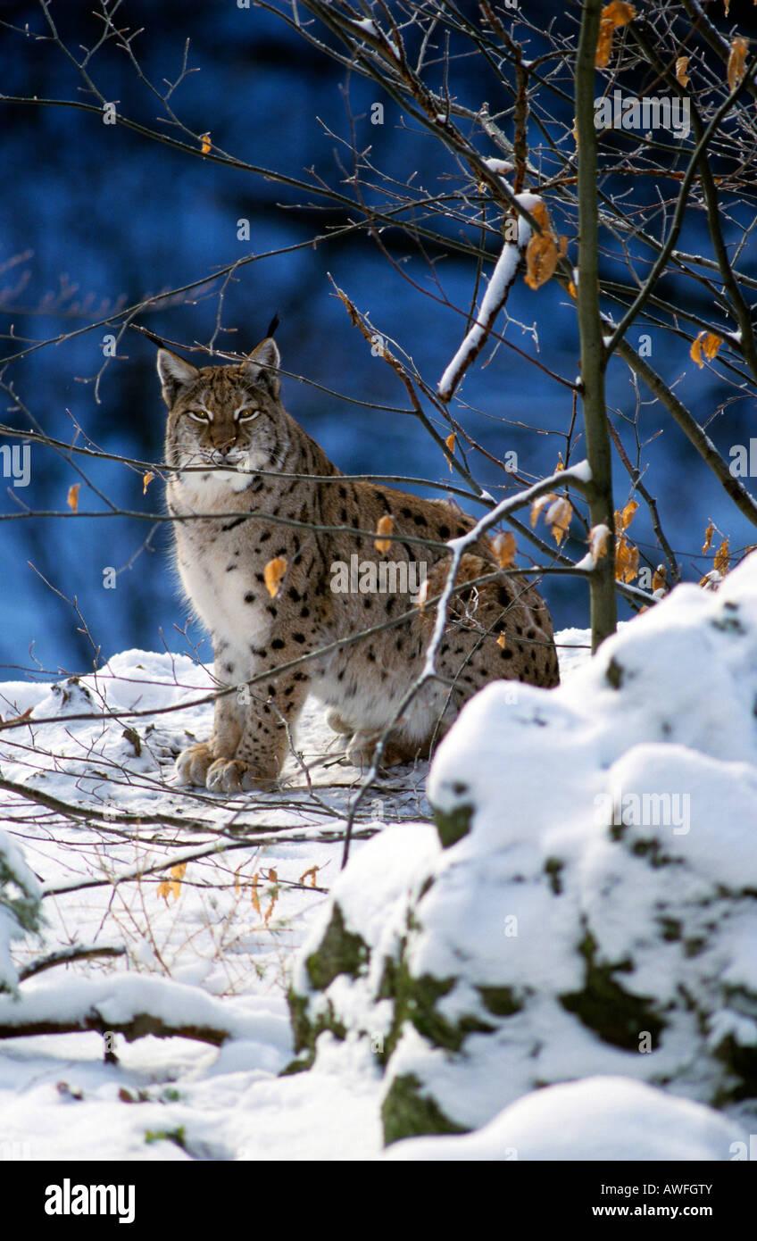 Eurasian Lynx (Lynx lynx), Bavarian Forest, Bavaria, Germany, Europe - Stock Image