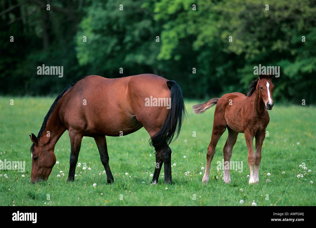 Brown mare with foal, Lower Saxony, Germany, Europe Stock Photo