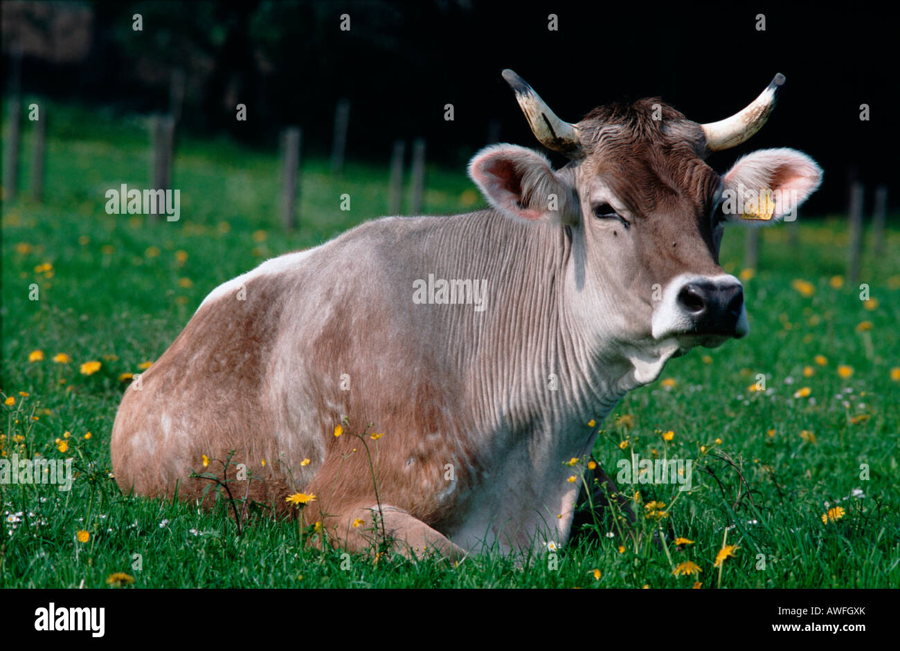 Cow laying on a meadow covered with dandelions near Lake Constance, Germany, Europe Stock Photo