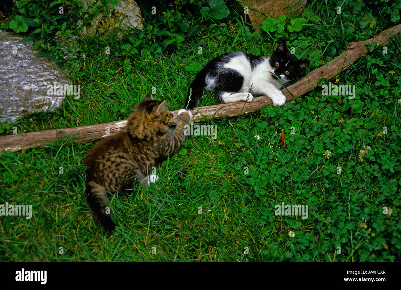 Two kittens playing - Stock Image