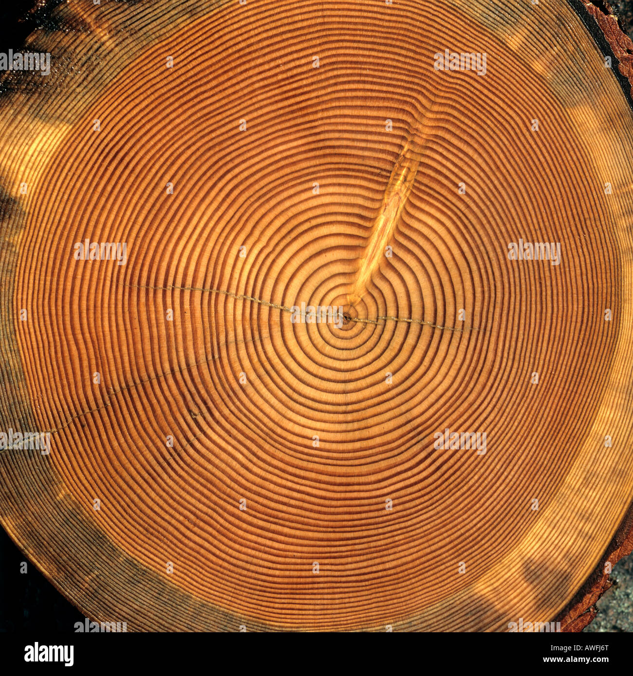 Tree trunk cross-section: tree rings - Stock Image