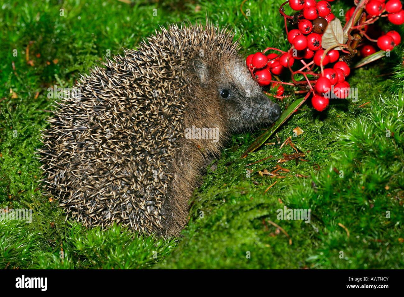 Young hedgehog in autumn (Western Hedgehog) (European Hedgehog) - Stock Image