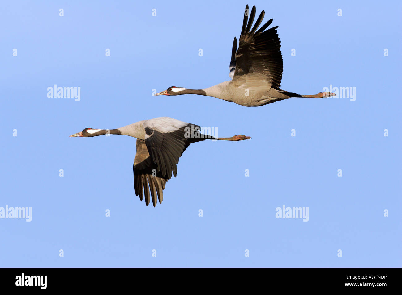 Couple of flying common cranes (Grus grus) - Lake Hornborga, Sweden, Europe, Stock Photo