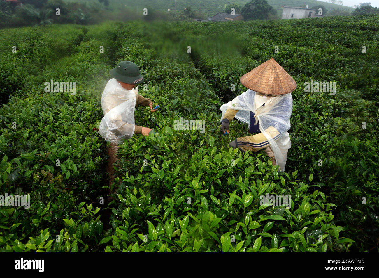 Tea pickers on a state-owned tea plantation, Tieu Khu 69, Son La Province, Vietnam, Asia Stock Photo