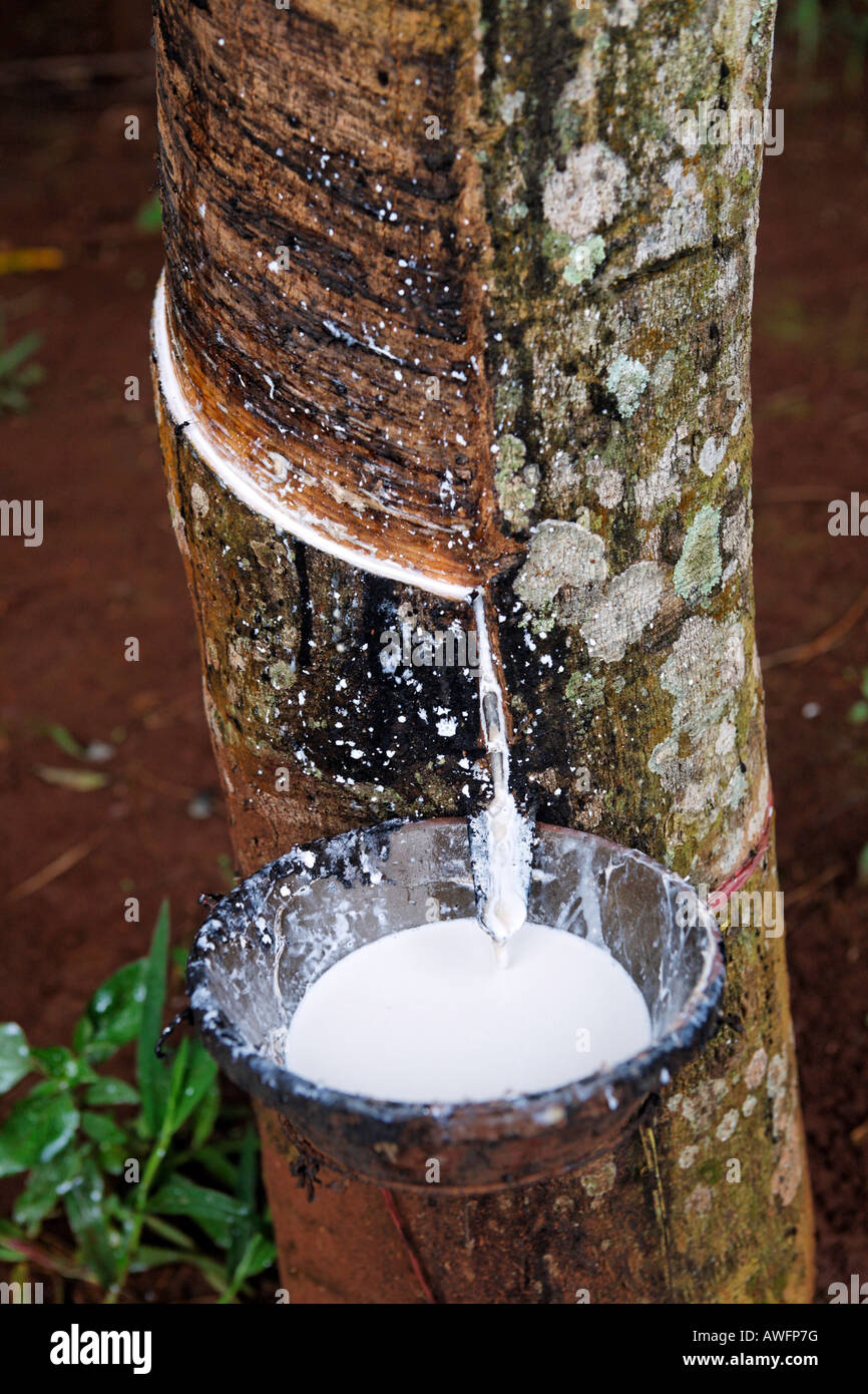 Extraction of latex from rubber trees, Western Highlands Agro-forestry Scientific and Technical Institute, WASI, - Stock Image