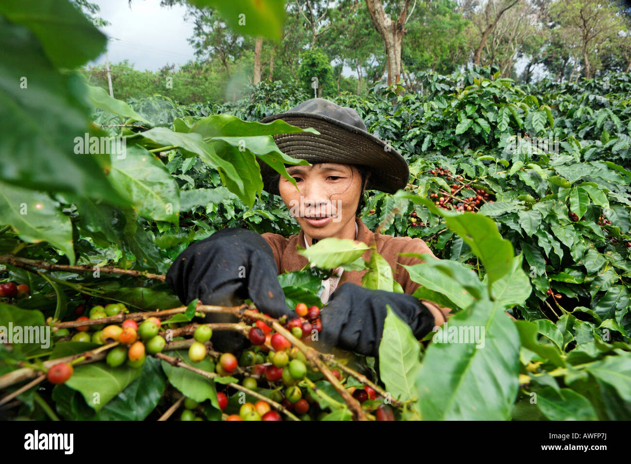 Woman picking red arabica coffee beans, Western Highlands Agro-forestry Scientific and Technical Institute, WASI, Stock Photo